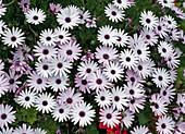 Osteospermum Sparkler