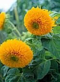 Helianthus annuus 'Santa Fe' (sunflower)