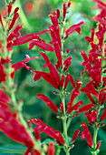 Salvia rutilans (Pineapple sage)