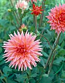 Dahlia 'Caesar Franck' (Cactus Dahlia)