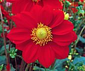 Dahlia 'Pinwheel'