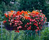 Begonia tuber begonia hybrid 'Nonstop goldorange'