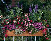Salvia farinacea, Impatiens hybrid, Ageratum