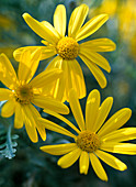 Euryops pectinatus (yellow marguerite