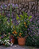 Agapanthus, CITRUS ,Lavendel