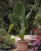 Alocasia 'Calidora' (elephant ear)