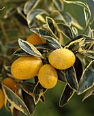 Fortunella japonica variegata