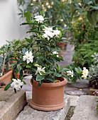 Gardenia jasminoides (Gardenia)