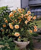 Hibiscus 'apricot'
