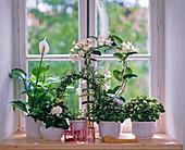 White fragrance window, Spathiphyllum, Myrtus