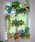 Flowering plants for the northern window, fuchsia, abutilon
