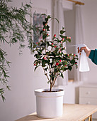 Camellias in the room often spray
