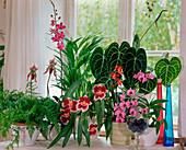 Paphiopedilum hybrids, Davallia, Areca, Phalaenopsis