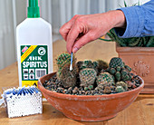 Fighting lice on cacti with undiluted alcohol