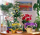 Miltonia (orchid), cineraria, abutilon