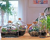 Bottle Garden, Selaginella, Dracaena, Pilea