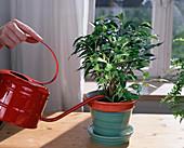 Watering Ficus benjamina (Birch Fig)