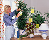 Yellow boards against pests in indoor plants