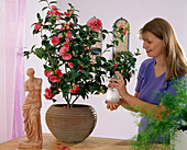 Spraying camellias