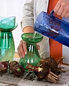 Wasser ins Amaryllisglas gießen