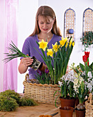 Plant basket with crocus, daffodil, hyacinths