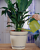 Repot the Spathiphyllum (single leaf)