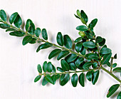 Branches of Buxus sempervirens (boxwood)