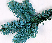 Branch of Abies procera
