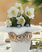 Bouquet of Christmas roses, pine twigs, eucalyptus fruit stands and wattesters