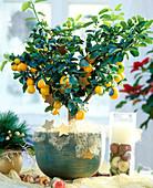 Fortunella 'Fukushu', Fukushu-Kumquat decorated for Christmas