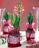 Hyacinthus orientalis packed as a gift