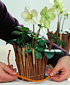 Christrose-Helleborus decorated for Christmas - rubber band behind drawstring