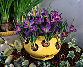 Crocus pot with Crocus tommasinianus