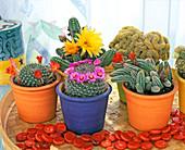 Blooming cactuses
