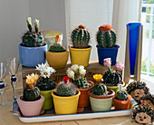 Cacti for permanent cultivation