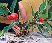 Anthurium scherzerianum hybrid