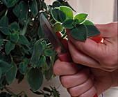 Streptocarpus saxorum head cuttig propagation