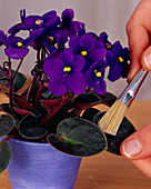 Cleaning African Violets leaves with a brush