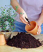 Repot, fill soil in the clay pot
