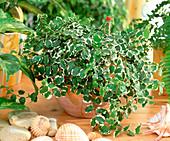 Ficus pumila 'Sunny' (climbing fig) in hydroponics