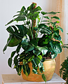 Hydro Bowl with Monstera, Philodendron
