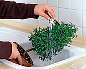 Läuse entfernen durch abspülen unter fließendem Wasser