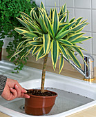Dive Dracaena (Dragon Tree) regularly