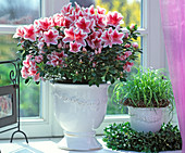Rhododendron simsii 'Carnival' (fatsi)