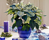 Euphorbia pulcherrima (fantasy stars) sprayed blue