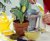 Insert Tulipa greigii on a glass of water