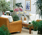 Living room with Ficus benjamina, Soleirolia, Medinilla,