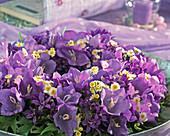 Campanula persicifolia (bellflower), daisies