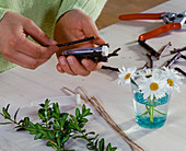 Argyranthemum frutescens, in a test tube