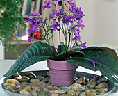Streptocarpus hybrids
